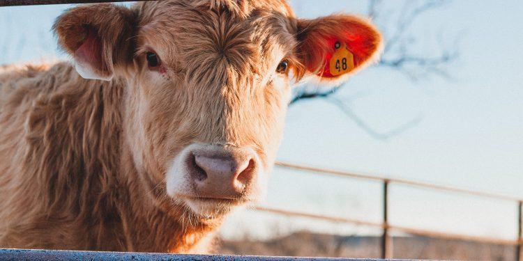 greenpeace-contro-industria-della-carne